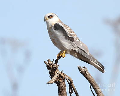 White-tailed Kite Hawk Perched . 7d11090 Art Print by Wingsdomain Art and Photography