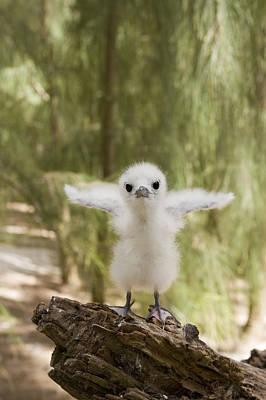 Photograph - White Tern Chick Midway Atoll Hawaiian by Sebastian Kennerknecht