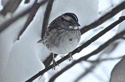 Photograph - White-throated Sparrow II by Healing Woman