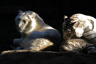 Photograph - White Tiger And Lion by Kate Purdy