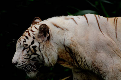 Photograph - White Tiger by Chua  ChinLeng