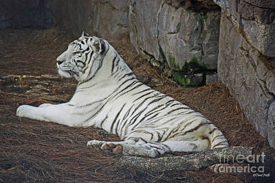 Photograph - White Tiger -color by Terri Mills