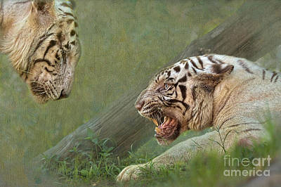 White Tiger Growling At Her Mate Art Print by Louise Heusinkveld