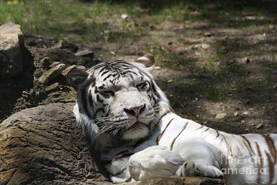 Photograph - White Tiger by Jerry Bunger