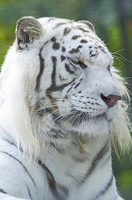 Photograph - White Tiger by JT Lewis
