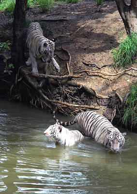 White Tigers In Water Pond Art Print by Johnson Moya