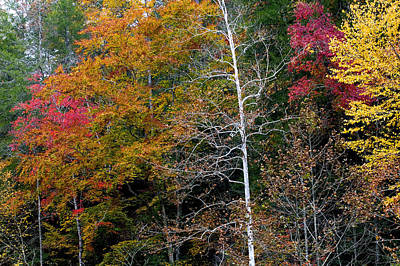 White Tree Fall Colors  Art Print by Rich Franco