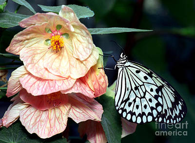 Photograph - White Tree Nymph Butterfly 4 by Terry Elniski