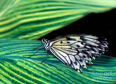 Photograph - White Tree Nymph Butterfly 5 by Terry Elniski