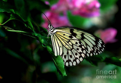 Photograph - White Tree Nymph Butterfly 6 by Terry Elniski