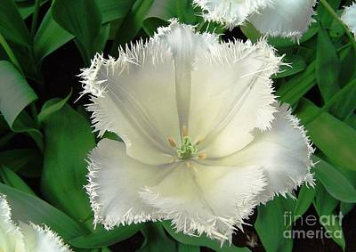 White Tulip Art Print by AmaS Art