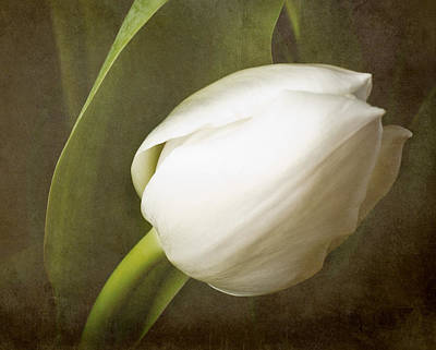 white Tulip Art Print by Fiona Messenger