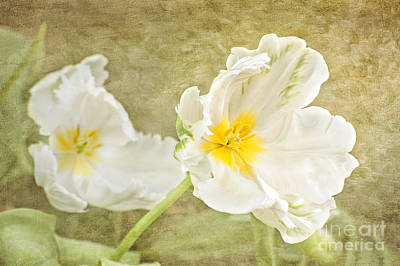 Photograph - White Tulips by Cheryl Davis