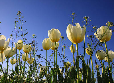 Photograph - White Tulips by Steve McKinzie