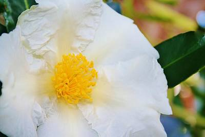 Photograph - White W Yellow Center Flower by Kelly Nicodemus-Miller