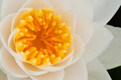 Photograph - White Water Lilly by Craig Leaper
