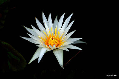 White Water Lily Original