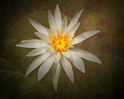 Photograph - White Water Lily by Rudy Umans