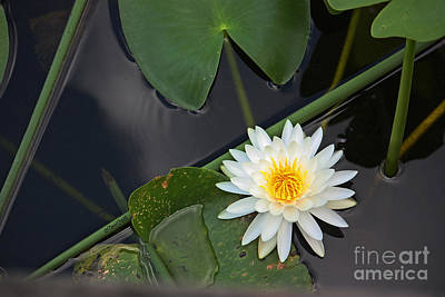 Photograph - White Water Lily by Terri Mills