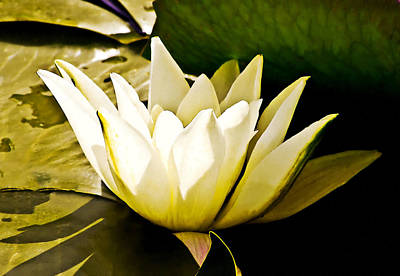 White Water Lily Art Print by Design Windmill