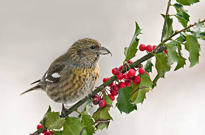 Crossbill Photograph - White-winged Crossbill On Holly Branch by Jean A Chang