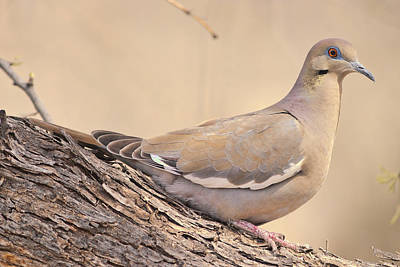 Photograph - White Winged Dove by Gregory Scott