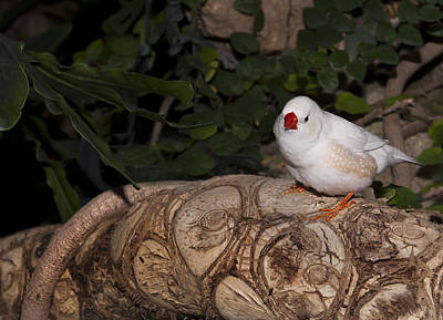 Photograph - White Zebra Finch by Robin Webster