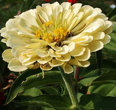 Photograph - White Zinnia by Bruce Bley
