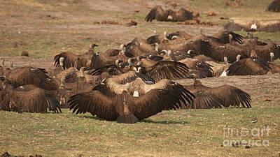 Photograph - Whitebacked Vultures by Mareko Marciniak