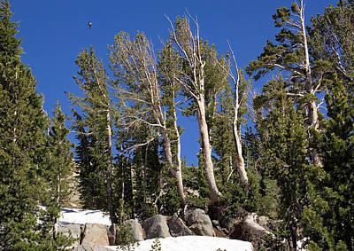 Whitebark Pines Photograph - Whitebark Pine (pinus Albicaulis) by Bob Gibbons