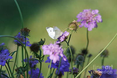 Butterfly Blue Pincushion Flower Photograph - Whites Butterfly by David Murray
