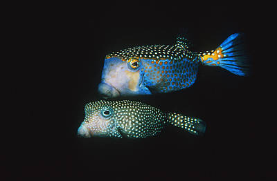 Whitespotted Boxfish Print by Georgette Douwma