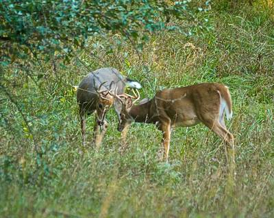 Whitetail Photograph - Whitetail Bucks In Battle 9677 by Michael Peychich