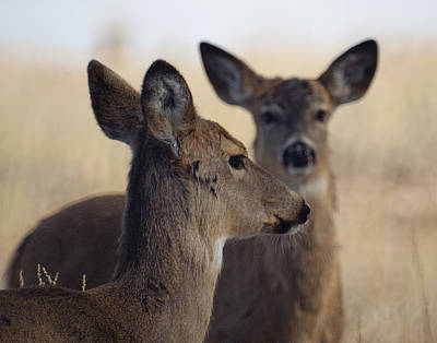 Whitetail Deer Art Print by Ernie Echols