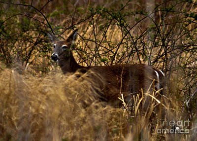 Photograph - Whitetail Deer by Ronald Grogan