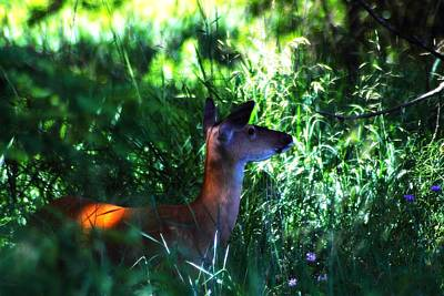 Photograph - Whitetail Doe 1 by Scott Hovind