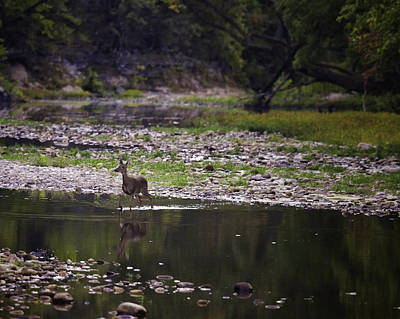 Photograph - Whitetail Doe Crossing The Buffalo At Ponca by Michael Dougherty