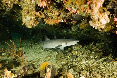 Malapascua Island Photograph - Whitetip Reef Shark In Cavern by Tim Laman