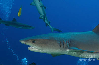 Photograph - Whitetip Reef Shark, Papua New Guinea by Steve Jones