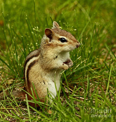 Who Goes There- Chipmunk Watch Art Print