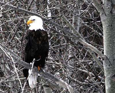 Eagle Photograph - Who Me by Don Mann
