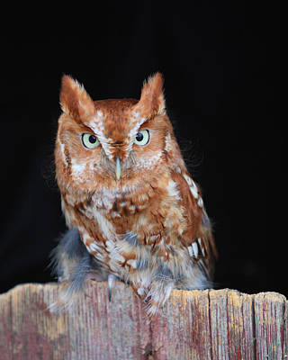Photograph - Whooo Are You by Gerry Sibell