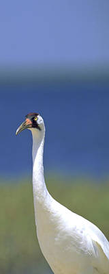 Photograph - Whooping Crane by Patrick M Lynch