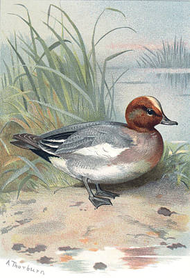 Penelope Wall Art - Photograph - Widgeon, Historical Artwork by Sheila Terry