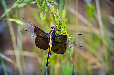 Photograph - Widow Dragonfly by Barry Jones