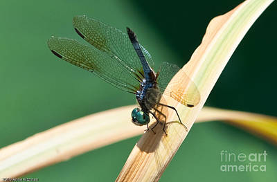 Popstar And Musician Paintings Royalty Free Images - Widow Skimmer Dragon Fly Royalty-Free Image by Anne Kitzman