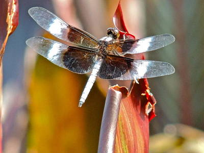 Photograph - Widow Skimmer Dragonfly by Eve Spring