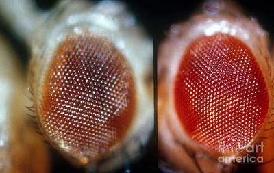 Wild & Brown Eyed Drosophila Art Print by Science Source