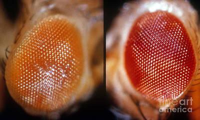 Wild & White-eosin Eyes In Drosophila Art Print by Science Source