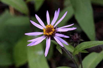 Photograph - Wild Aster by Doug Lloyd